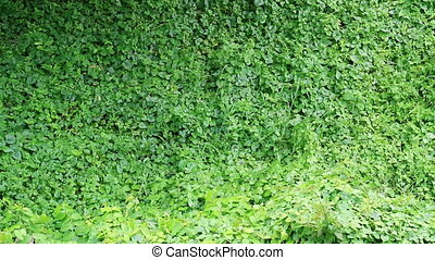 Overgrown wild vine fully covers building wall - Overgrown...