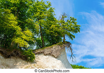 overhanging tree at the chalk cliffs at the Jasmund National Park at Ruegen, Germany