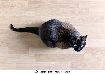 siamese cat sitting on laminate floor looking up