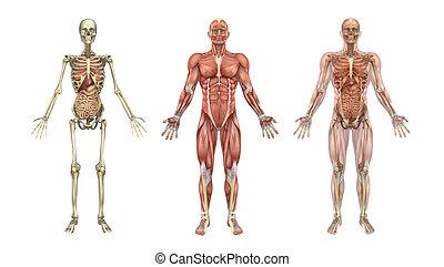 overlays, órganos, interno, anatómico
