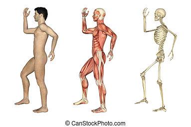 overlays, skręcony, noga, -, anatomiczny, samiec, ręka