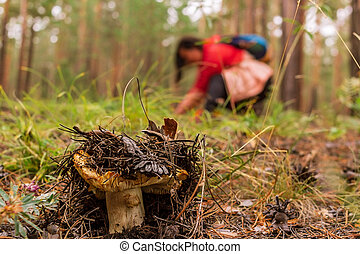 Overripe saffron milk cap in the coniferous forest and mushroom picker in the background, selective focus, close up