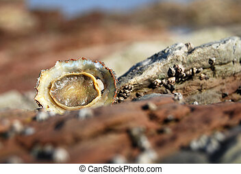 Overturned limpet alone amonst a rock pool - A lonely ...