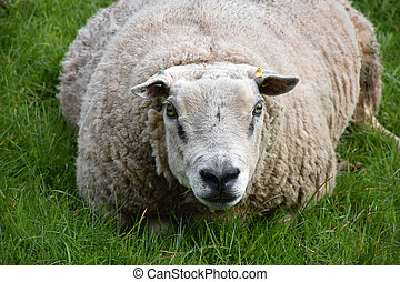Overweight Sheep Resting in a Grass Field