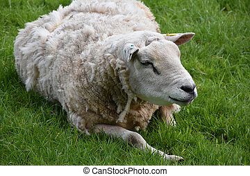 Overweight White Sheep Resting in a Grass Field