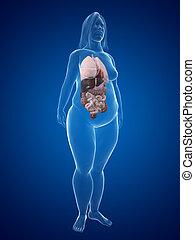 overweight woman - organs