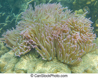 overzees anemone