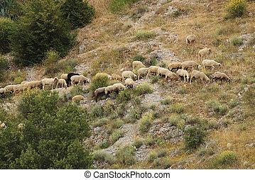 ovine mountain transhumance - flock of sheep moving on a ...
