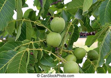 ovoce, mladický list, vlašský ořech kopyto