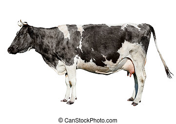 ?ow full length isolated on white background. Funny cute cow...