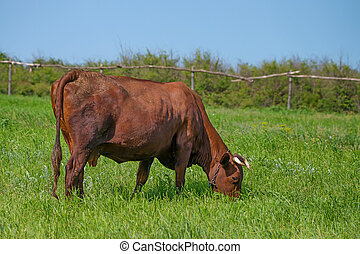 ?ow is grazing on pasture - Brown cow is grazing on pasture