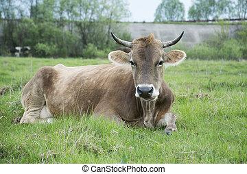 ?ow lies on a grass - Summer cow lies on a grass in a meadow...