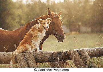 owczarek szkocki, brzeg, koń, czerwony pies