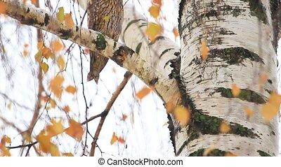 owl beautiful portrait among color leaves, wildlife, animals...
