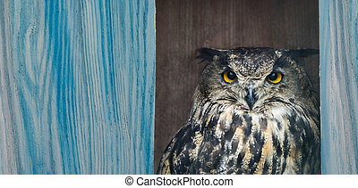owl bubo on a blue background, board for the text