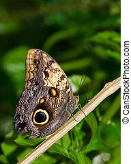 Owl butterfly (Caligo), a large, tropical butterfly named ...