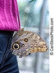 Owl Butterfly (Caligo eurilochus, Bananenfalter) sitting on ...
