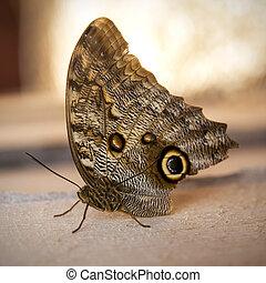 Owl butterfly ,caligo eurilochus. beautiful brown butterfly ...