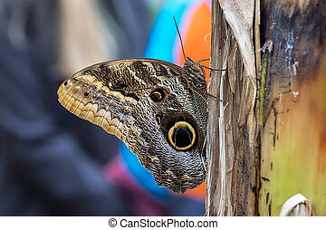 Owl butterfly ,caligo eurilochus. beautiful brown butterfly...