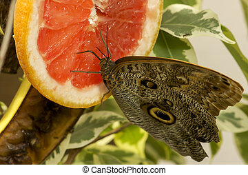Owl butterfly ,caligo eurilochus. drinking nectar on a ...