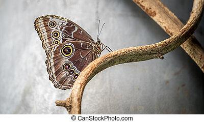 Owl Butterfly, Caligo Eurilochus on branch