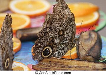Owl Butterfly - Caligo eurilochus