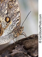 Owl butterfly Caligo Eurilochus
