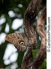 Owl butterfly (Caligo) - Great owl butterfly, the Owl (...