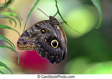 Owl butterfly (Caligo) is a large, tropical butterfly, named...