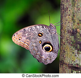 Owl Butterfly - Caligo memnon butterfly sitting on the tree