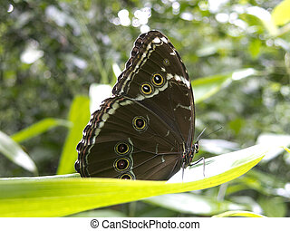 Owl butterfly, Caligo sp., in Amazon rainforest. Madidi Park, La Paz Region. Bolivia.
