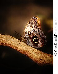 Owl Butterfly - Close up of beautiful Owl butterfly with...