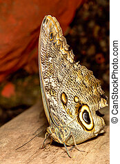 Owl Butterfly Close Up