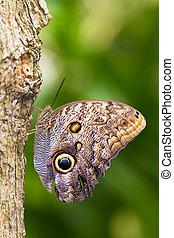 Caligo - Owl butterfly in the genus Caligo, on a tree