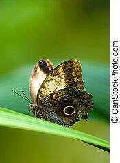 owl butterfly (lat. caligo eurilochus) resting on a green ...