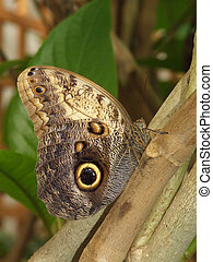 Owl Butterfly - Owl butterfly showing the eyespots