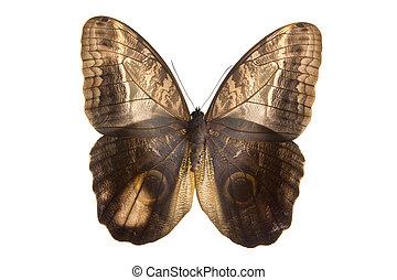 Owl butterfly top side