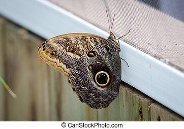 Owl (Caligo memnon) butterfly with wings. - Owl (Caligo ...