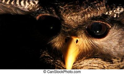 Owl, close-up