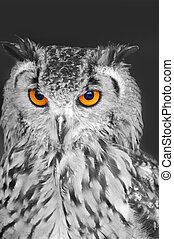 Owl - Eagle owl in black and white with bright orange eyes