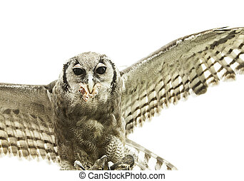Owl falconry natural