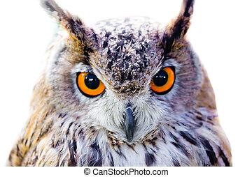 owl head closeup