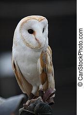 owl III - owl portrait