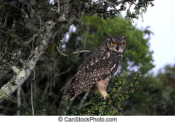 Owl in Addo Elephant National Park
