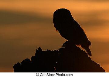 owl in sunrise tim