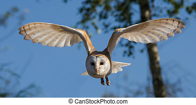 owl in the country side flying