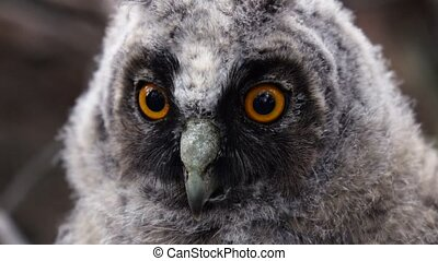 Owl looks with a glance in the distance looking out for...