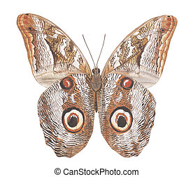 Owl moth - A Butterfly Painting with watercolor on paper