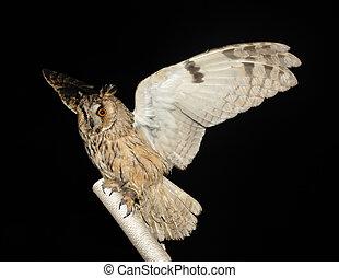 owl on a stick on the black background, (Strigiformes, ...