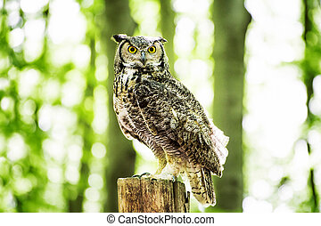 Owl on the Stump in Forest